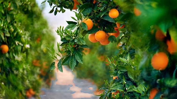 Encuentra tu arbol de naranjas.